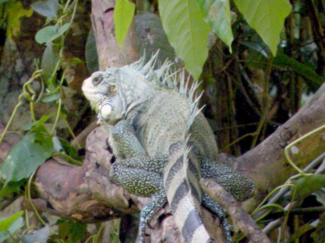 Iguana no Amazônia Jungle Hotel