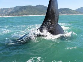 Whale watching in Florianópolis